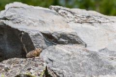 Pika-Stangen auf Felsen im Blockfeld Lizenzfreie Stockbilder