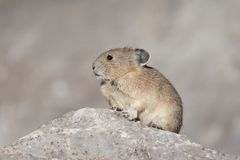 Pika on Stone. American Pika on rock pile Stock Image