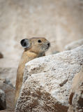 Pika on a summer day. Pika standing along a rock on a summer day Royalty Free Stock Photos
