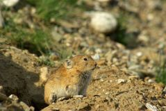 Pika on threshold of burrow Royalty Free Stock Image