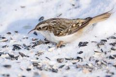 Pika on the white snow Stock Photography
