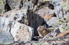 Pika. A pika on a Wyoming boulder field Royalty Free Stock Images