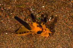 Pikachu nudibranch στοκ φωτογραφία με δικαίωμα ελεύθερης χρήσης