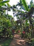 Pikantności plantacja w Goa, India zdjęcia royalty free