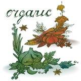 Pikantności organicznie akwareli jarzynowy czosnek, pikantność, Obraz Stock