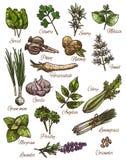 Pikantności, zielarskiego i świeżego liścia warzywa nakreślenia projekt, royalty ilustracja