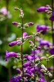 Pikar når en höjdpunkt lilor (Penstemonmexicalien) Arkivbild