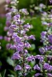 Pikar når en höjdpunkt lilor (Penstemonmexicalien) Arkivfoton