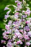 Pikar når en höjdpunkt lilor (Penstemonmexicalien) Royaltyfri Fotografi