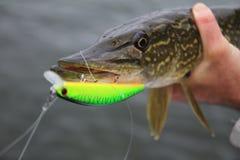 Pike в руках ` s рыболова стоковое изображение rf