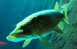 Pike. In the lighted aquarium Stock Images
