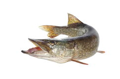 Pike Stock Photography