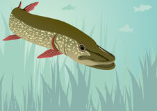 Pike Stockbilder