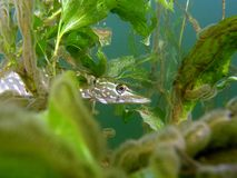 Pike. In the lake green plants fauna Stock Image