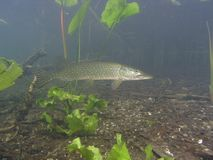 pike Royaltyfria Foton
