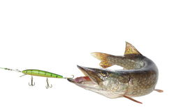 Pike and artificial bait Royalty Free Stock Photography
