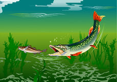 Pike attack Royalty Free Stock Images