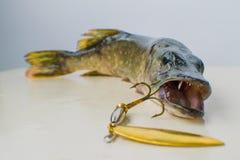 Pike avec un attrait dans sa bouche Photo stock