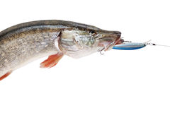 Pike with bait in mouth Royalty Free Stock Image