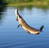 Pike catch. Royalty Free Stock Image