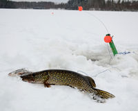 Pike caught in the ice Royalty Free Stock Photo