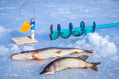 Pike caught on winter fishing rod Royalty Free Stock Photo