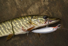 Pike caught on wobbler. Summer spinning fishing. Colorful pike caught on wobbler royalty free stock image