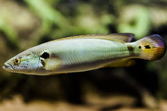 A Pike Cichlid fish Jacunda. Royalty Free Stock Photography
