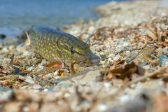 Pike close-up on the lake. Spring background. Fishing equipment. Fishing background stock photography