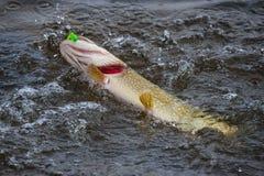Pike com as brânquias vermelhas no gancho na água a ferver Pique do troféu travado em um gabarito peixes no gancho Pesca que gira fotos de stock royalty free