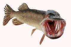 Pike con la boca abierta de par en par libera Fotos de archivo