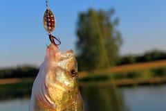 Pike, de gran tamaño, cogido en el río con el giro y el cebo artificial en junio Trofeos de un pescador Imagen de archivo