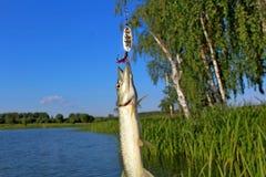 Pike, de gran tamaño, cogido en el río con el giro y el cebo artificial en junio Trofeos de un pescador Fotografía de archivo