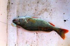 Pike, de gran tamaño, cogido en el río con el giro y el cebo artificial en junio Trofeos de un pescador Fotos de archivo libres de regalías