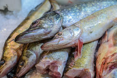 Pike are on display at the carcass perch. Royalty Free Stock Photos