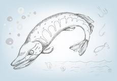 Pike drawn in pencil, vector illustration Stock Image