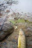 Pike e pesca em Noruega Imagens de Stock
