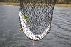 Pike em uma rede Foto de Stock Royalty Free