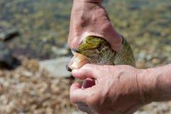 Pike en las manos de un pescador La cara de Pike con una boca abierta Dientes y garganta de un lucio foto de archivo