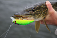 Pike en las manos del ` s del pescador imagen de archivo libre de regalías