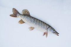 Pike en nieve Pesca del invierno Imagen de archivo libre de regalías