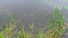 Pike en un gancho cogió por un pescador almacen de metraje de vídeo