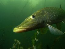 Pike esox Stock Photo