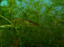 Pike esox Stock Photography