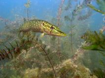 Pike esox Royalty Free Stock Image
