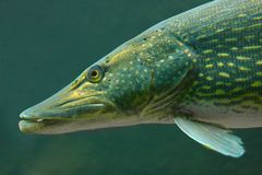 The Pike (Esox Lucius). Underwater photo of a big Pike (Esox Lucius Royalty Free Stock Images