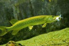 Pike-Fische Stockbilder