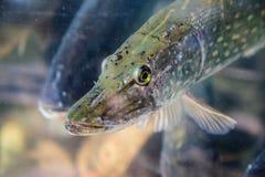 Pike-Fische in Aquarium oder Reservoir ubder Wasser Lizenzfreie Stockfotografie