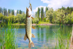 Pike fish on the background of river landscape Stock Image