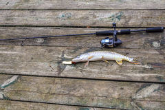 Pike fish caught Royalty Free Stock Photos